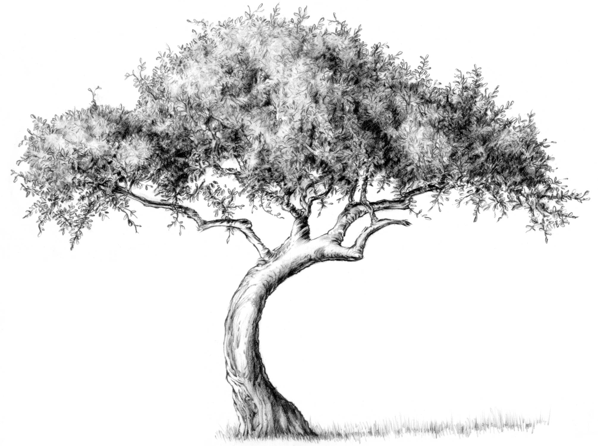 nattree04 - Tree Drawings